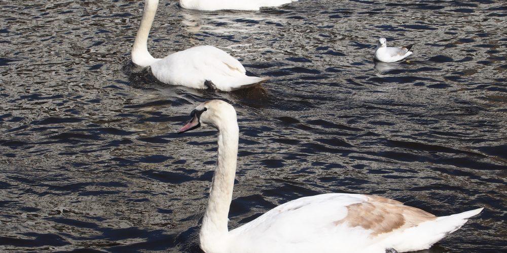 Hamburgs weiße Frühlingsboten sind wieder unter uns